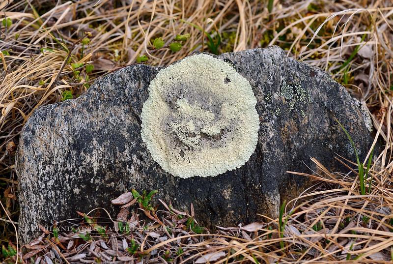 Z-LICHEN-Arctoparmelia centrafuga 2014.6.5#080.3. Concentric Ring Lichen. Savage Canyon, Denali Park Alaska.