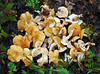 F-TOOTH FUNGI-Hydnum repandum 2007.8.22#034.3. Golden Hedgehogs headed for an extra special game feed. Anchorage, Alaska.