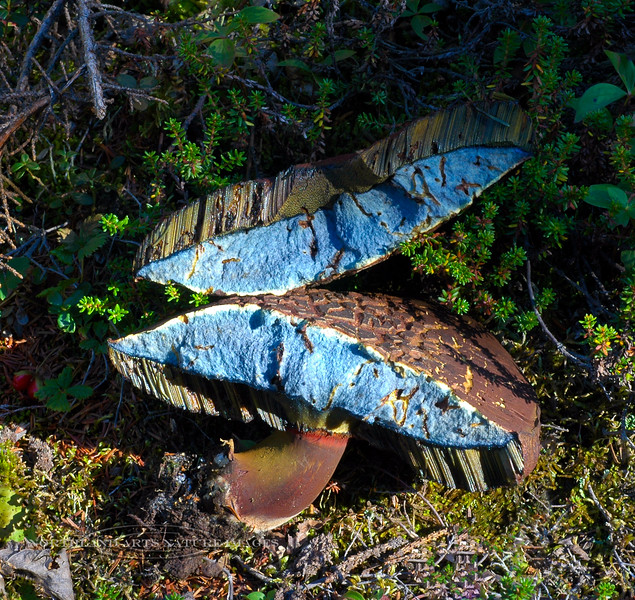 F-BOLETACEAE-Boletus erythropus (now changed to Neoboletus luridiformis) 2007.8.24#095.3. The Scarletina Bolete. The amazing color change that happens when this fungi is broken. Upper Palmer Creek Valley, high in the north Kenai Mountains, Alaska.