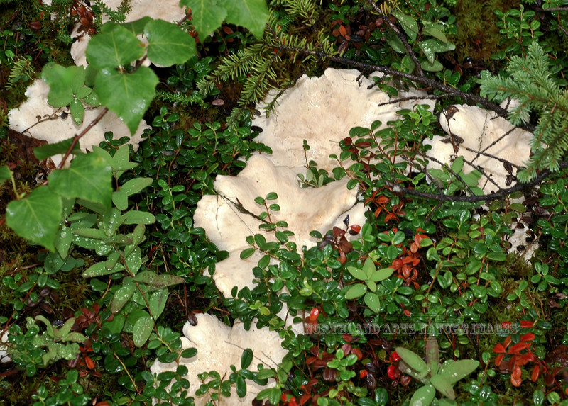 F-BRACKET FUNGI-Albatrellus ovinus 2005.8.3#0063.2. Sheep Polypore. Russian River, Kenai Peninsula Alaska.