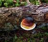 F-BRACKET FUNGI-Fomitopsis pinnicola 2016.8.18#016.3. The Red Belted Conk. Winner Creek, near Girdwood Alaska.