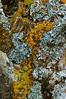 Z-LICHEN-Unknown species 2005.10.4#0036.3. Oil Bay, West side of Cook Inlet Alaska.