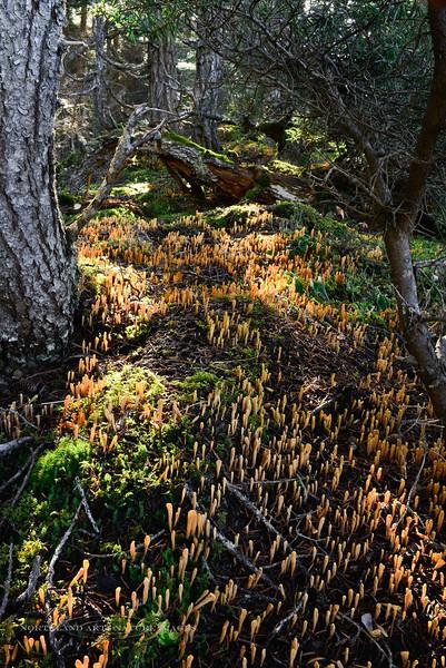 F-CORAL FUNGI-Clavariadelphus ligula 2013.10.1#039. Commonly called hairy-based fairy club. Palmer Creek , Kenia mountains near Hope, Alaska.