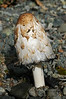F-GILLED-Coprinus comatus 2005.9.17#0320.2 Shaggy Mane. Indian River, Tok Cut-off, Alaska.