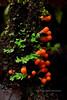 F-SLIME MOULDS-Leocarpus fragilis 2014.9.16#259. East of Sterling, Kenai peninsula, Alaska.