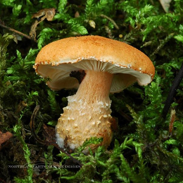 F-GILLED-Cystoderma cinnabarinum 2005.8.30#0136.3. East side of Kincaid Park, Anchorage Alaska.