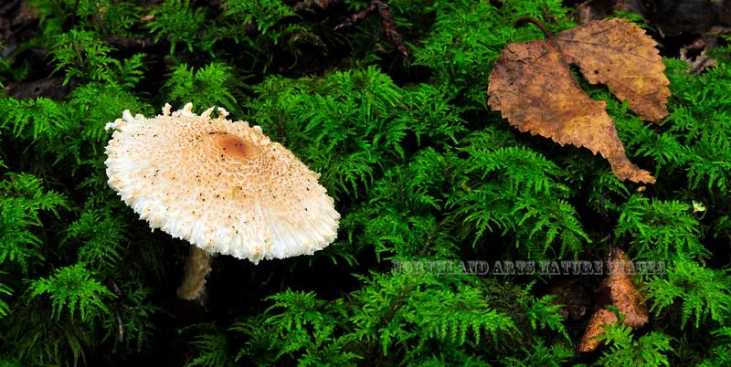 FM-Lepiota Species 2011.9.7#026. Growing amongst feather moss. Winner Creek Chugach Forest, Girdwood Alaska.