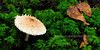 F-GILLED-Lepiota Sp. 2011.9.7#026. Growing amongst feather moss. Winner Creek Chugach Forest, Girdwood Alaska.
