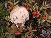 Amanita regalis, the Panther Cap. A deadly poisonous species. Near Arctic Circle on Dalton Hwy, Alaska. #814.100.