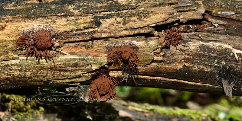 F-SLIME MOULDS-Stemonitis splendens 2014.8.1#019. The Chocolate Tube Slime. Kincaid Park, Anchorage Alaska.