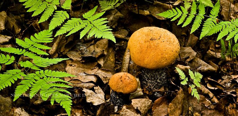 F-BOLETACEAE-Leccinum insigne 2009.8.13#023. Birch/Aspen Bolete. A common bolete in the north country. Edible but not the same prize as Boletus edulis. Kincaid Park, Anchorage Alaska.