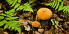 FM-Boletes-Leccinum aurantiacum 2009.8.13#023. Aspen Bolete. A common bolete in the north country. Edible but not the same prize as Boletus edulis. Kincaid Park, Anchorage Alaska.