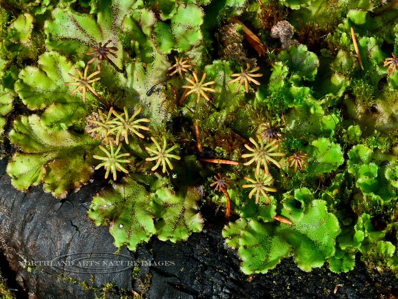 Liverwort-Marchantia latifolia 2014.8.19#083. Palmer Creek road near Hope. Kenai mountains, Alaska.