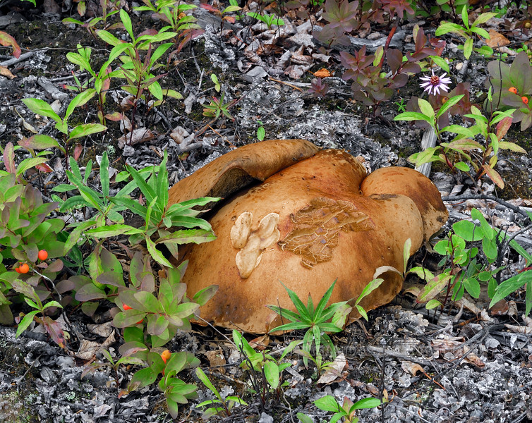 F-BOLETACEAE-Leccinum sp. maybe 2008.8.3#072.3. Near Coleman Creek along the Richardson Highway in Alaska.