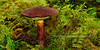 FM-Boletus mirabilis 2013.9.14#194. Commonly called  the Admirable Bolete. Winner Creek Chugach Forest, Girdwood Alaska.