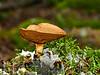 FM-Boletus-Chalciporus piperatus 2013.8.28#122. The Peppery Bolete. Kincaid Park, Anchorage Alaska.