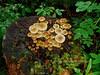 F-GILLED-Armillaria mellea 2005.8.4-Russian River, Kenai peninsula Alaska.