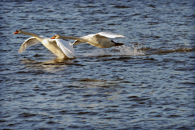 Mute Swans try to get airborne