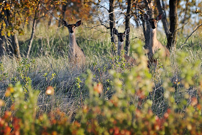 White-tailed deer in the dunes along Lake Michigan