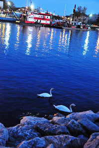 Mute Swans along Muskegon Lake Channel
