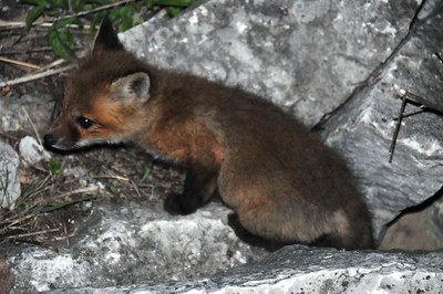 Fox kit in rocks along the channel