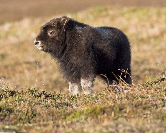 Nome Musk Ox Calf