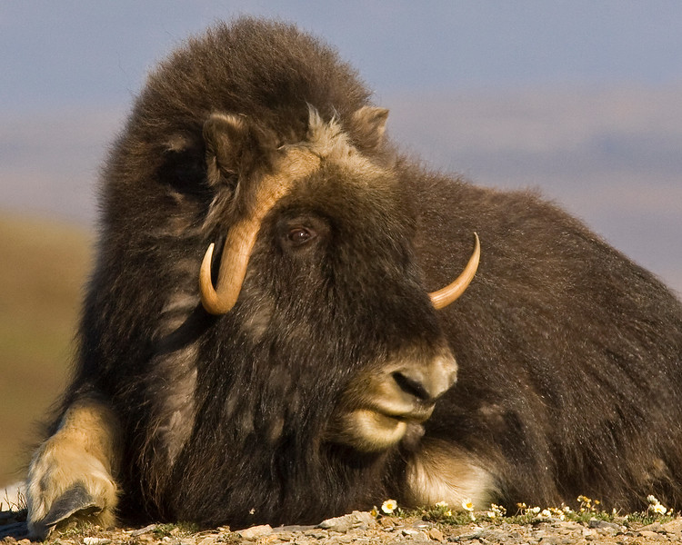 Nome Musk Ox