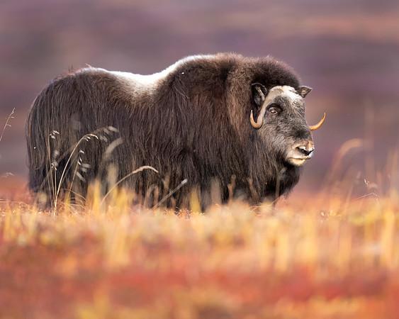 Seward Peninsula (near Nome) Alaska Musk Ox