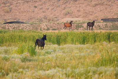 A nearby band of other mustangs is chased away from the prime grazing spot by the black stallion.
