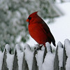 Cardinal.   Feb.,10