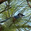 A shy Blue Jay