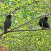 Starlings.