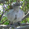 Fluffed up Mockingbird.