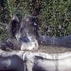 Blue Jay taking a bath.