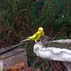 A Rare Visit by a Parakeet