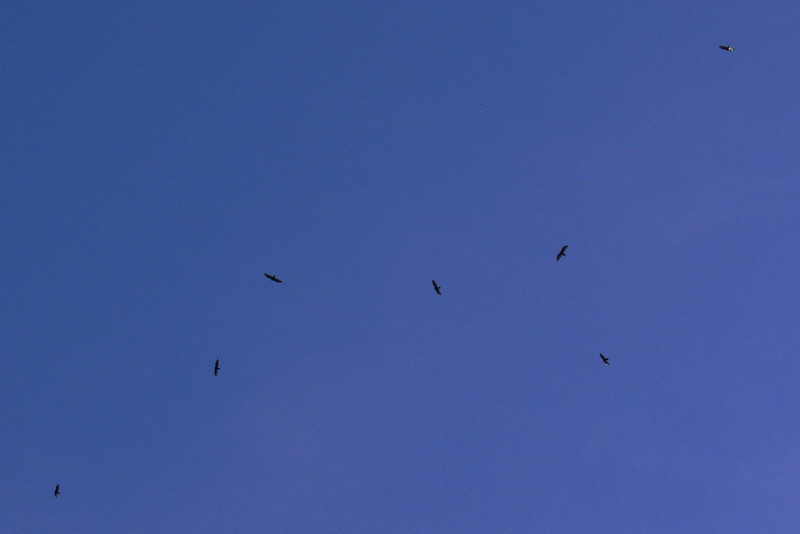 Buzzards Enjoying the Fall weather over our backyard.