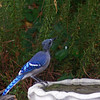 A Blue Jay missing some kneck feathers.