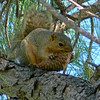 Squirrel peeling a pine cone looking for pine nuts.