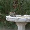 Frozen bird bath.