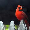 Male Cardinal.