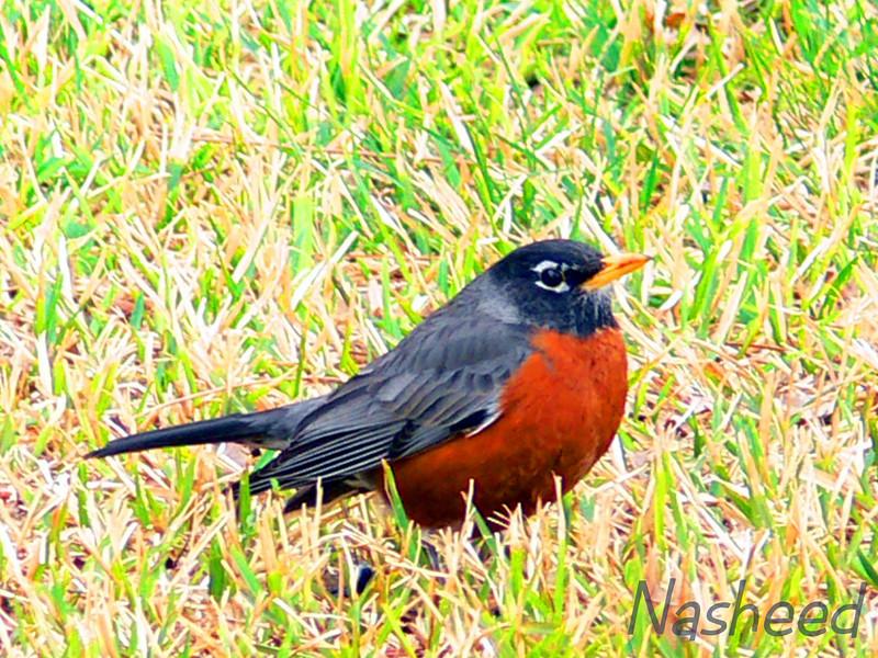 """<a href=""""http://www.mamarocks.com/first_robin.htm"""">http://www.mamarocks.com/first_robin.htm</a>"""