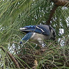 A Blue Jay building his/her nest on top of a  pine tree in our back yard.