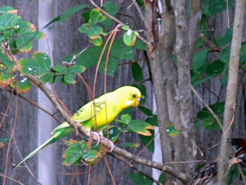 A loose parakeet.