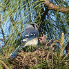 Blue Jay Feeding Her Hungry Chicks.