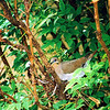 A dove built a nest in a shrub next to our house.