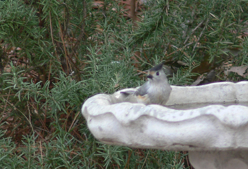 Tufted Titmouse (black crested)