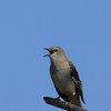 Texas State Bird...Mockingbird.