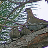 Dove and Chicks