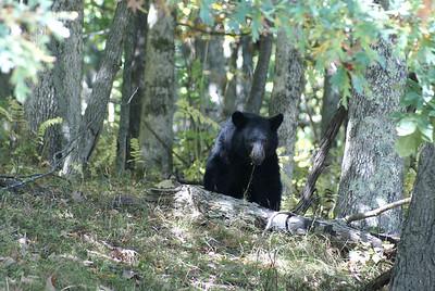 Black Bear (1)