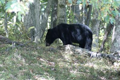Black Bear (3)